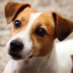 Origen de la raza jack russell terrier