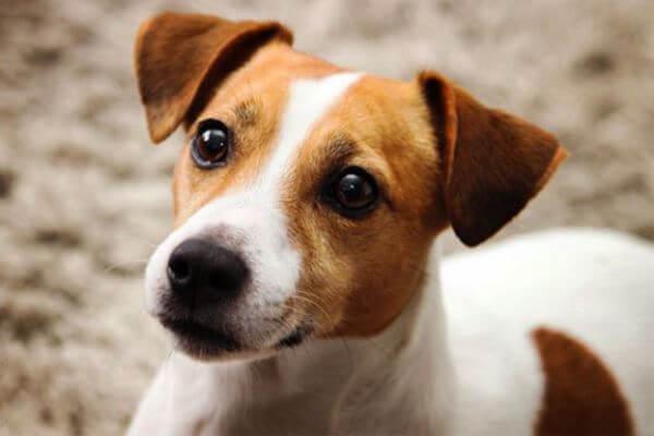 cómo educar jack russell terrier