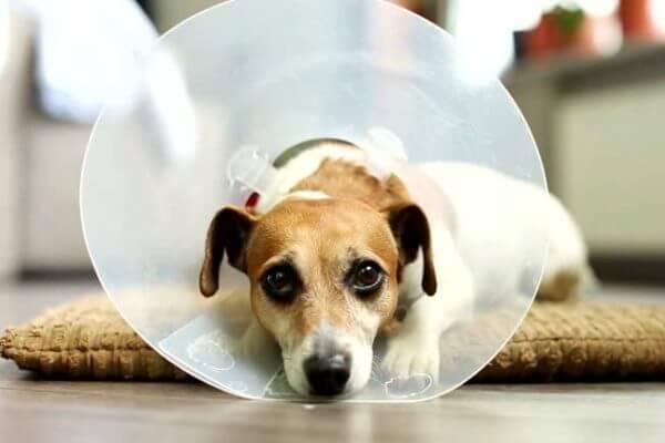jack russell terrier enfermedades mas comunes