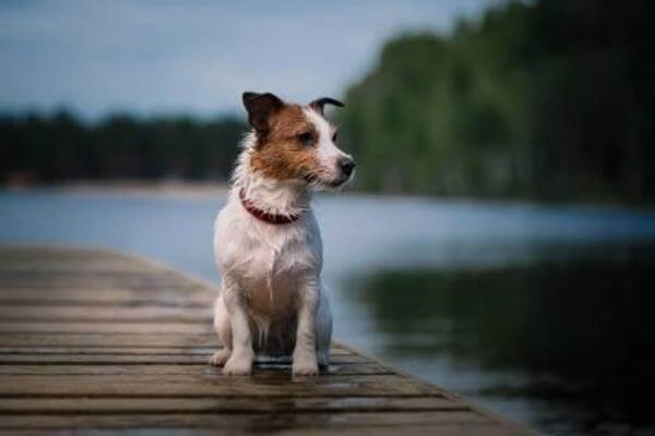 temperamento de la raza de perro jack russell terrier
