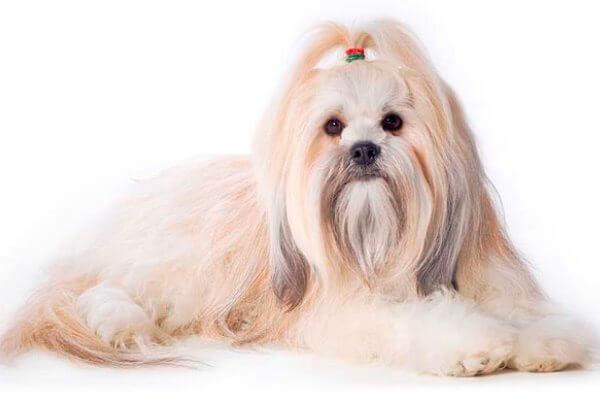 raza de perro lhasa apso características