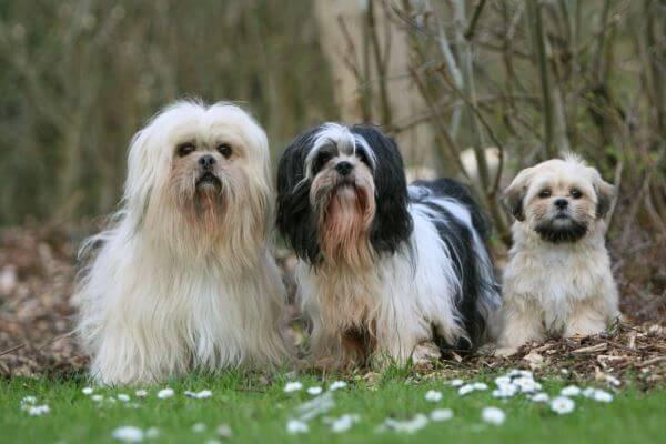 cómo es la salud del lhasa apso perro
