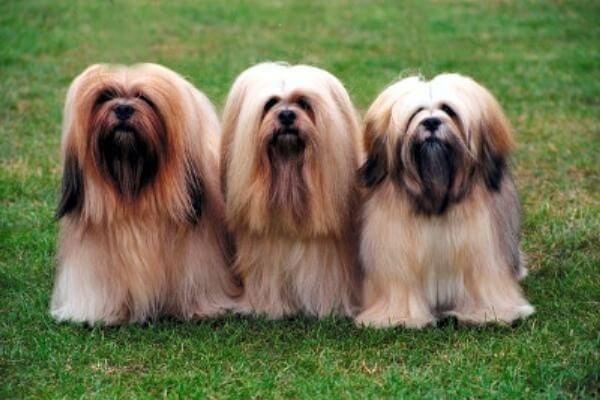 qué temperamento tiene el perro lhasa apso