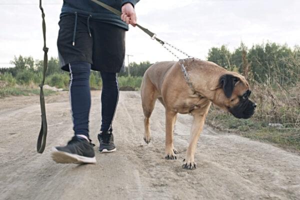 cómo educar a un mastiff
