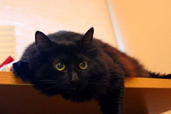 de dónde es el gato de angora