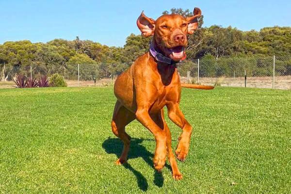 características raza de perro braco húngaro