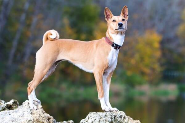 peculiaridades de la raza de perro basenji