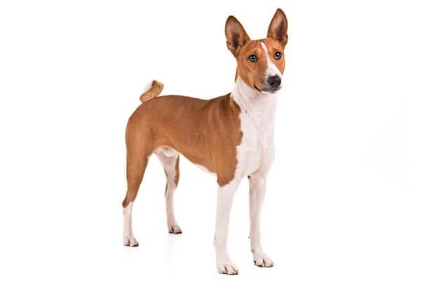 cuanto mide y pesa el perro basenji
