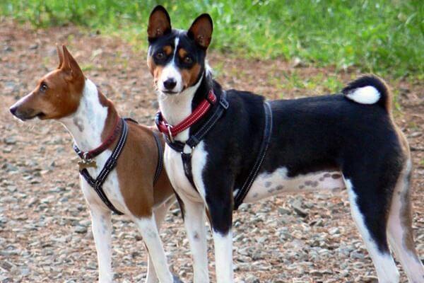 cuál es el perro basenji