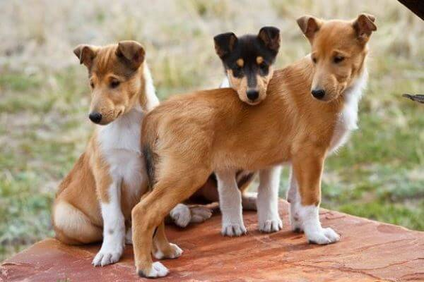 Origen raza smooth collie