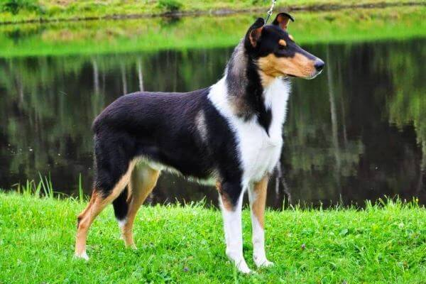 smooth collie negro
