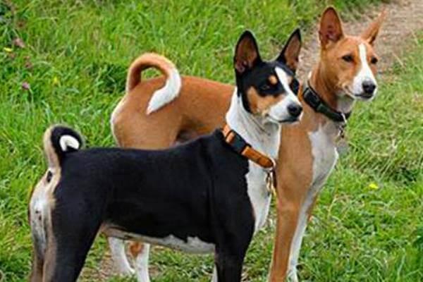 cuál es la historia del perro basenji