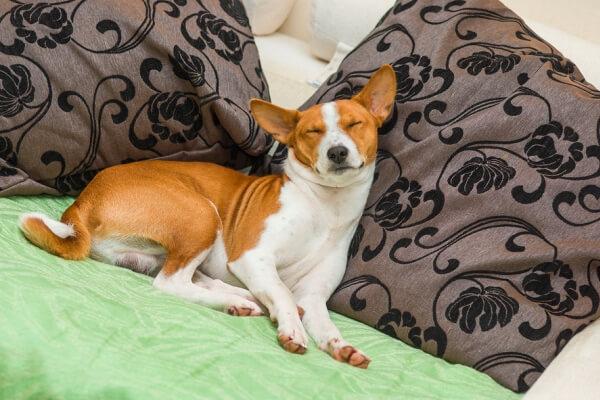 cuál es la personalidad de la raza de perro basenji