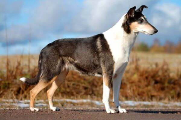 perro smooth collie