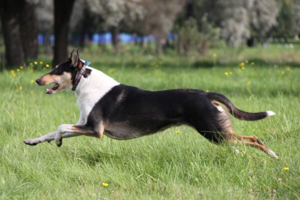 smooth collie temperamento