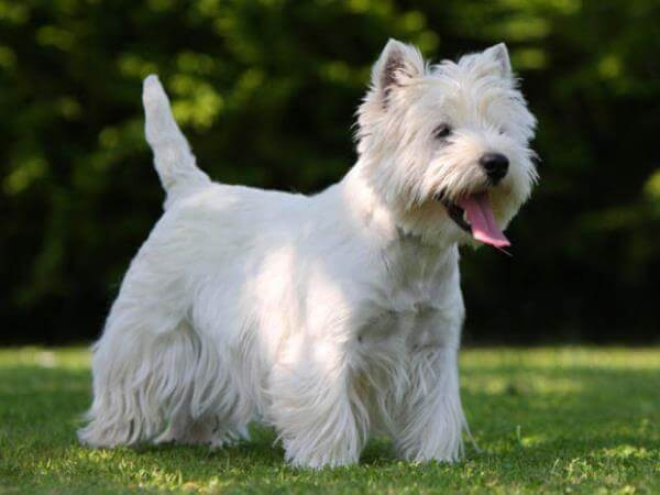 perro westie características