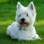 Origen Raza West Highland White Terrier