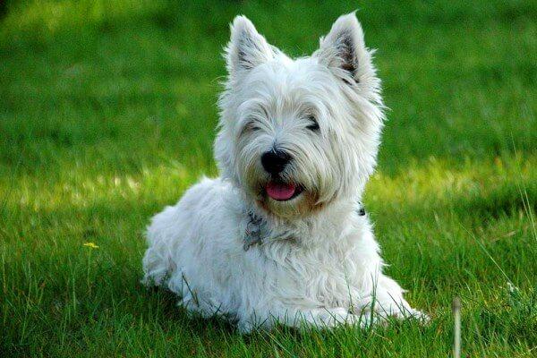 trucos para educar a un West Highland white terrier