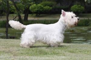 West Highland white terrier definición
