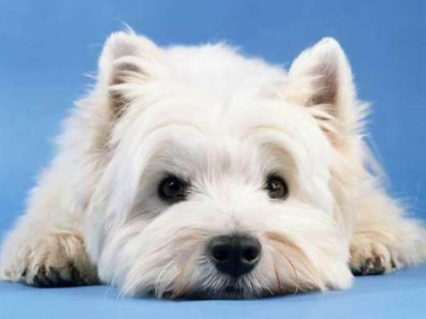 personalidad West Highland white terrier