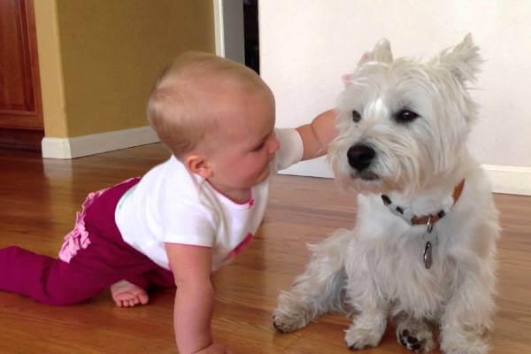 cuál es la personalidad del perro westy