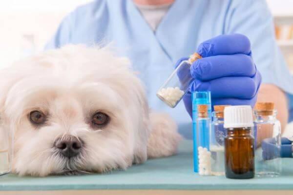 Enfermedades típicas raza de perro bichón maltés