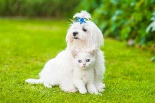 comportamiento bichón maltés con otras mascotas y animales