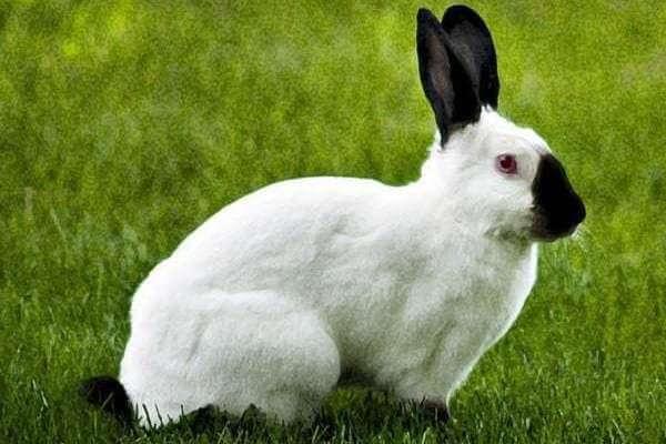 conejo californiano características