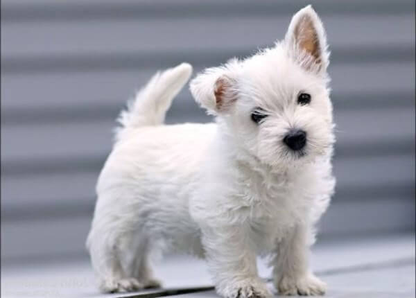 West Highland white terrier precios