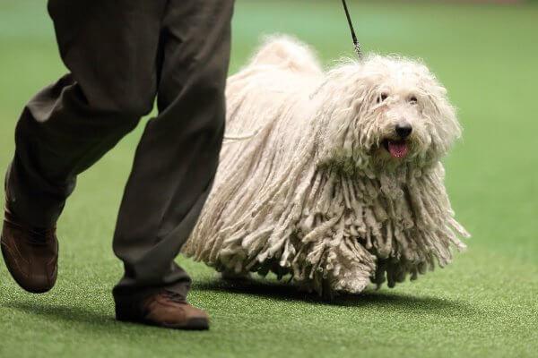 cómo adiestrar raza de perro puli húngría