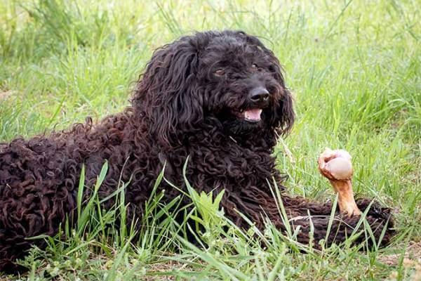 qué comen los perros puli