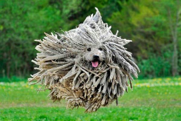 carácter raza de perro puli
