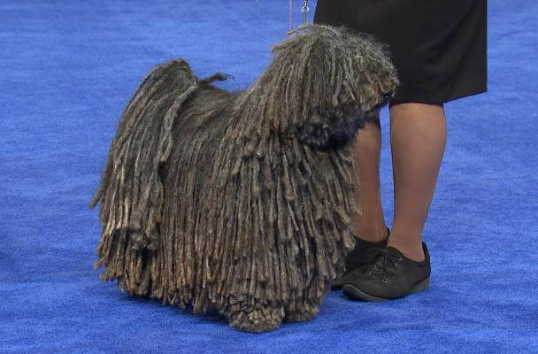 educación perro raza puli