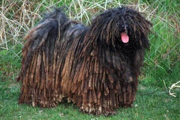 cómo es la raza de perro puli húngaro