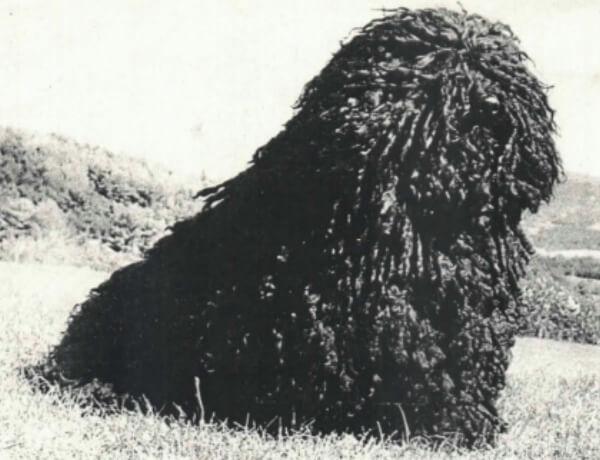 historia raza de perro puli
