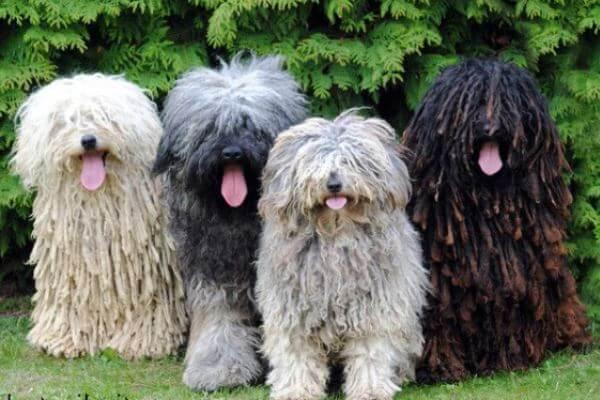 colores raza de perro puli