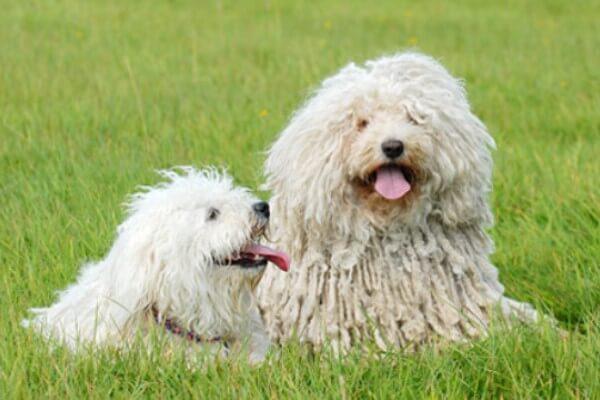 enfermedades raza de perro puli