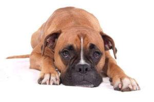Cómo cuidar a mi perro con trastornos gastrointestinales