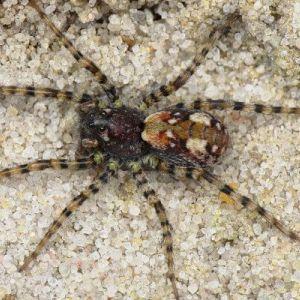 especie de araña Arctosa perita