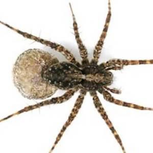 tipo de araña Pardosa amentata
