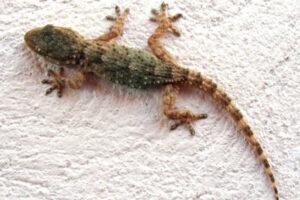 Gecko casero tropical