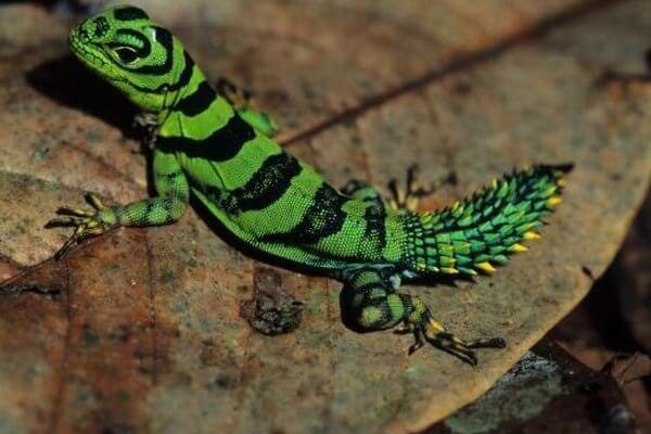 esperanza de vida de las lagartijas