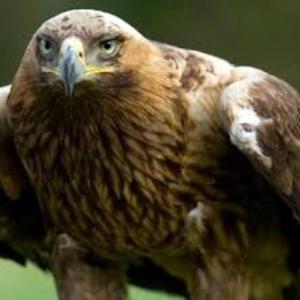 qué comen las águilas imperiales
