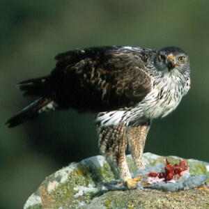 qué comen las águilas azor perdiceras