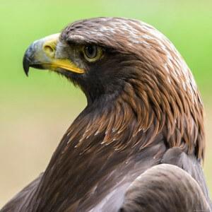 Qué comen las águilas doradas