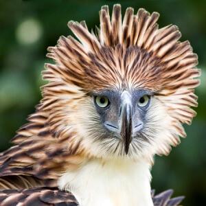 Qué comen las águilas de Filipinas