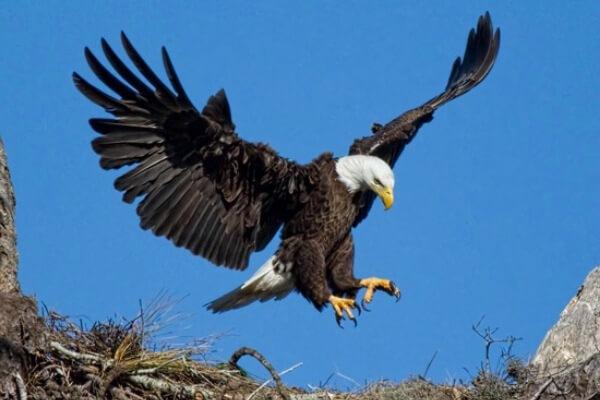 tipos de águilas