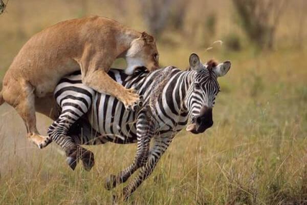 los leones cazan cebras