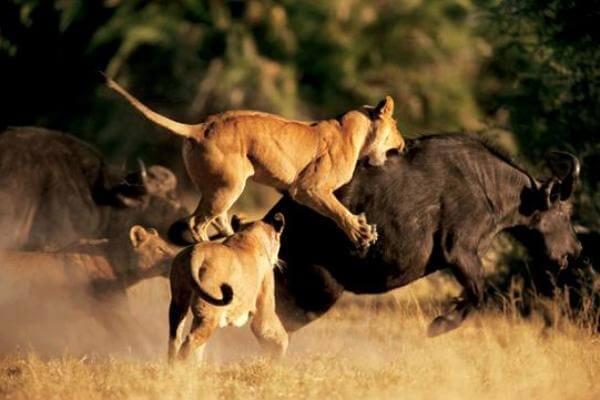 los leones caza búfalos
