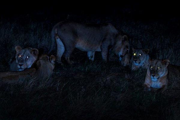 cómo cazan los leones en la oscuridad